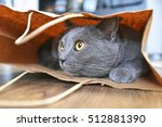 British Shorthair Cat In A...