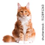Stock photo portrait of domestic red maine coon kitten months old cute young cat sitting in front and 512891263