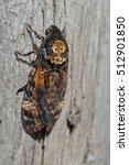 Small photo of Greater Death's head hawk moth Acherontia atropos
