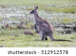 Kangaroo Mother With Joey In...