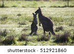 Kangaroo Mother And Joey On A...