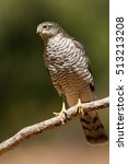 Small photo of Joung female of Eurasian sparrowhawk. Accipiter nisus