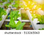 green hydroponic organic salad...   Shutterstock . vector #513265063