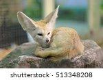 White Fennec Fox Or Desert Fox...