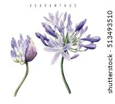 Agapanthus  Watercolor  Can Be...