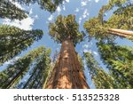huge redwood tree in sequoia...