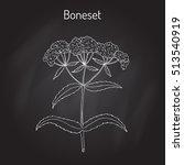 boneset  eupatorium perfoliatum ... | Shutterstock .eps vector #513540919