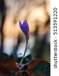 autumn crocus     crocus... | Shutterstock . vector #513591220