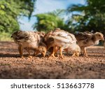 group of little chicken eating... | Shutterstock . vector #513663778