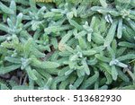 Small photo of Achillea tomentosa foliage green plant