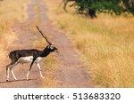 Lone Male Black Buck Deer...