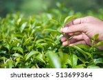 man hand picking fresh tea...   Shutterstock . vector #513699364