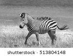 A Lone Zebra Walking On The...