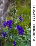 Small photo of nice blue wild flower in blurry background, aconitum napellus, poisonous