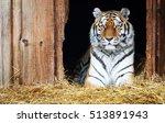 a captive siberian tiger lying...   Shutterstock . vector #513891943