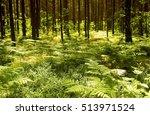 Ferns Growing Under Pine Trees...