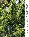 Small photo of Foliage of rare golden Norway spruce (Picea abies Aurea) shot in natural environment (Slovenia, Loški potok).