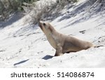 Australian Fur Seal In De Dunes