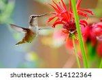 hummingbird eating red flowers | Shutterstock . vector #514122364