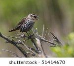 Small photo of Seaside Sparrow(ammodramus maritimus)