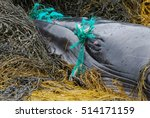 minke whale tangled up in a... | Shutterstock . vector #514171159