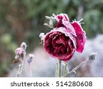 Frozen Red Rose With Rime Fros...