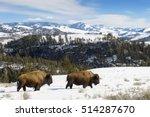 American Bison  Bison Bison ...