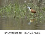 Small photo of African Jacana (Actophilornis africana) walking in water, Kruger National Park, South Africa.
