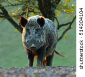 Big Wild Boar Looking At Camer...