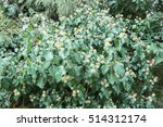 background texture of shrubbery ... | Shutterstock . vector #514312174
