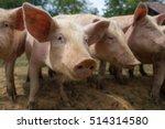 Herd Of Pigs At Pig Breeding...