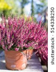 Cultivated Potted Pink Calluna...