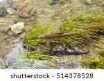 Freshwater Fish Arctic Graylin...