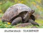 Galapagos Giant Turtle Standing ...