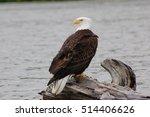 Bald Eagle Sitting On Log In...
