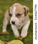 Small photo of American staffordshire terrier puppy