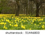 Woodland With Daffodils And...