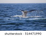 humpback whale  megaptera... | Shutterstock . vector #514471990