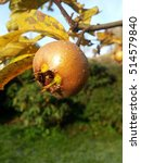 Small photo of Mespilus germanica