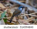 bird beautiful black throated... | Shutterstock . vector #514594840