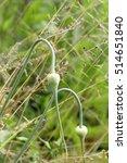Small photo of Shooters of garlic among a grass. Wild garlic. Vegetable background vertically.Allium satívum. Amaryllidaceae family. Allioideae