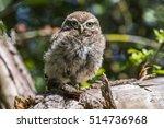 little owl  athene noctua  | Shutterstock . vector #514736968