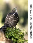 Small photo of one years old female of Northern goshawk. Accipiter gentilis