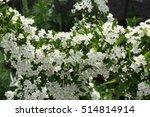 Blossom Feuerdorn  Pyracantha