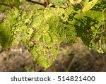 the leaves of viburnum damaged... | Shutterstock . vector #514821400