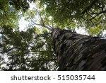 New Zealand Native Kauri Tree