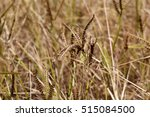 Small photo of African finger millet (Eleusine coracana) in a field.
