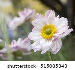 anemone hupehensis japonica...   Shutterstock . vector #515085343