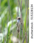 Small photo of Great Reed Warbler (Acrocephalus arundinaceus) singing in a reedbed, Danube Delta, Romania.