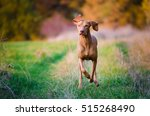 Stock photo hungarian hound dog 515268490